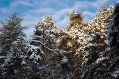 Parecchi pini un giorno nevoso in Russia Immagine Stock Libera da Diritti