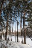 Parecchi pini un giorno nevoso in Russia Fotografia Stock Libera da Diritti