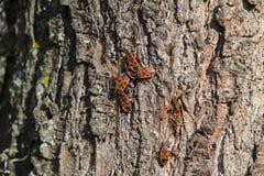 Parecchi scarabei del firebug sulla corteccia di un albero Immagini Stock