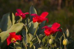 Parecchi tulipani e narcisi accesi dal sole fotografie stock libere da diritti