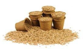 Parecchi vasi della torba riempiti di semi dell'avena Fotografia Stock