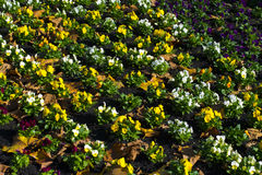 Parecchie belle viole del pensiero nella linea in autunno Fotografia Stock Libera da Diritti