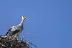 Parecchie cicogne nel nido Fotografia Stock