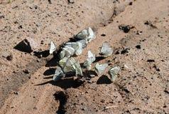Parecchie farfalle bianche Immagini Stock