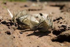 Parecchie farfalle bianche sulla strada sabbiosa Fotografie Stock Libere da Diritti