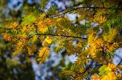 Parecchie foglie rosse di una cenere di montagna nel sole di autunno Fotografia Stock Libera da Diritti