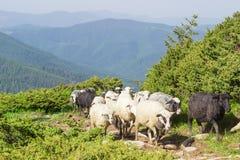 Parecchie pecore sulla traccia di montagna contro le creste della montagna Immagini Stock