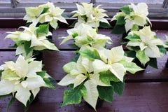 Parecchie piante conservate in vaso sbalorditive della stella di Natale nel colore bianco luminoso dell'insieme di orario inverna immagine stock libera da diritti