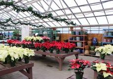 Parecchie tavole basse coperte di scelta delle piante sane della stella di Natale, giardini di Sunnyside, Saratoga New York, 2018 fotografia stock libera da diritti