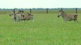 Parecchie zebre che stanno nella regione selvaggia e che ondeggiano le loro code stock footage
