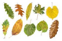 Parecchio foglia naturale di autunno di agricoltura isolata su bianco Fotografia Stock