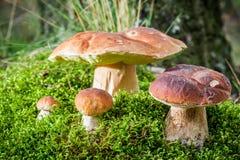 Parecchio fungo del boletus su muschio in foresta Immagini Stock Libere da Diritti