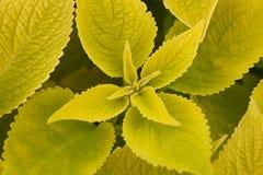 Parecchio primo piano verde del coleus del foglio del backlighting Immagini Stock