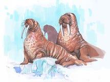 Parecchio walrusin il Arctik su un iceberg Fotografie Stock Libere da Diritti