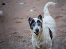 Parecer perdido del perro de la playa cara de la panda de A Foto de archivo