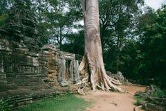 Pared antigua de la ruina con la raíz grande Fotos de archivo libres de regalías