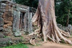 Pared antigua de la ruina con la raíz grande Imagen de archivo