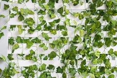 Pared blanca con las hojas verdes fotos de archivo