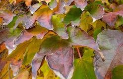 Pared con la planta colorida de la hiedra del otoño fotos de archivo