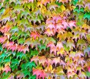 Pared cubierta con las hojas rojas de la hiedra Imagen de archivo libre de regalías