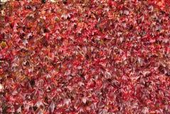 Pared cubierta con las hojas rojas de la llama Fotos de archivo libres de regalías