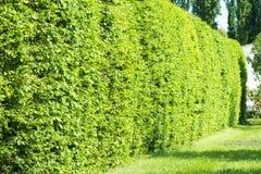 Pared de arbustos verdes Foto de archivo