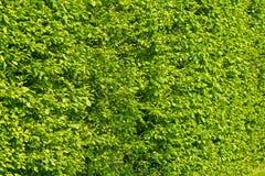 Pared de arbustos verdes Fotografía de archivo libre de regalías