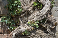 Pared de destrucción de la vieja raíz Foto de archivo libre de regalías