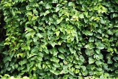 Pared de hojas Foto de archivo libre de regalías