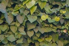 Pared de hojas Imágenes de archivo libres de regalías
