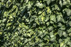 Pared de la hiedra verde Hélice de Hedera Textura original del verdor natural Fondo de hojas elegantes fotografía de archivo