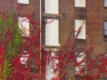 Pared de la subida de las vides del edificio viejo Fotografía de archivo