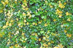 Pared de la vid con las flores amarillas Imagen de archivo