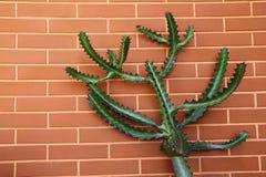 Pared de ladrillo con el cactus del euforbio Imagenes de archivo