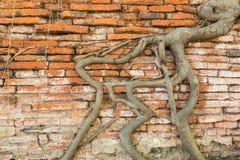 Pared de ladrillo con la raíz del baniano Imagen de archivo libre de regalías