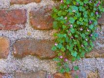 Pared de ladrillo con un arbusto verde hermoso Fotos de archivo libres de regalías
