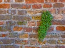 Pared de ladrillo con un arbusto verde hermoso Fotos de archivo