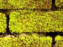 Pared de ladrillo por completo con el musgo verde Imagen de archivo libre de regalías