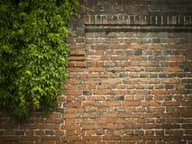 Pared de ladrillo roja con el fondo verde de la hiedra Imágenes de archivo libres de regalías