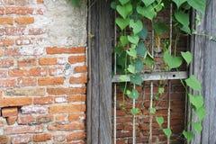 Pared de ladrillo vieja con follaje verde Fotos de archivo