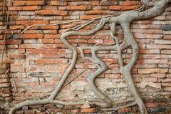 Pared de ladrillo vieja con la raíz del baniano Fotos de archivo libres de regalías