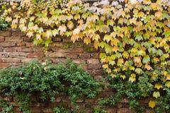 Pared de ladrillo vieja cubierta con la hiedra amarilla y las plantas verdes Imágenes de archivo libres de regalías