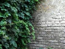 Pared de ladrillo vieja y planta que sube verde foto de archivo libre de regalías
