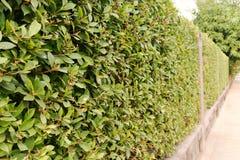 Pared de ladrillo y arbusto ornamental Foto de archivo libre de regalías