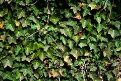 Pared de las hojas Fotografía de archivo