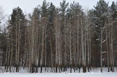 Pared de los árboles de Aspen Foto de archivo libre de regalías