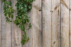 Pared de madera con las hojas verdes Fotografía de archivo libre de regalías