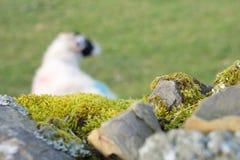 Pared de piedra seca y ovejas fotos de archivo libres de regalías