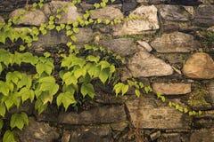 Pared de piedra vieja con la hiedra venenosa Foto de archivo libre de regalías