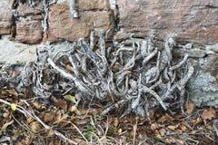 Pared de piedra vieja con las raíces Fotografía de archivo